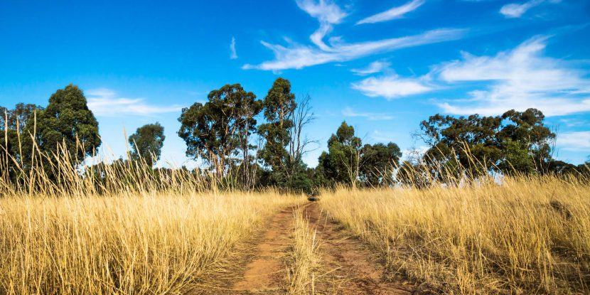 Victoria, Australia, Grampians, Red dirtroad through the dry bushland landscape with high yellow grass and broadloaf trees with blue sky