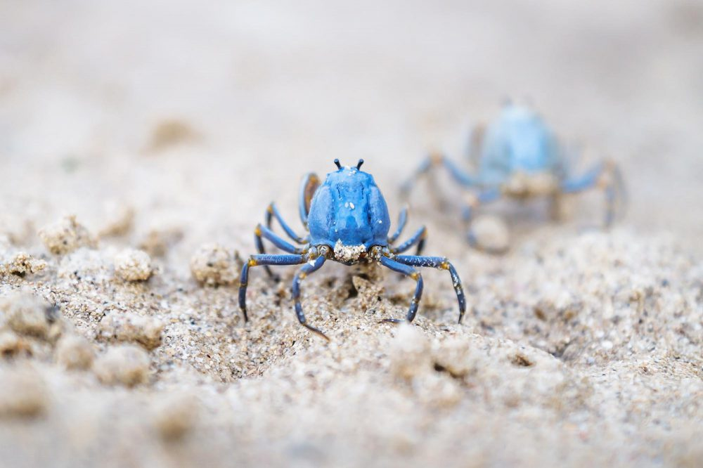 Two small blue crabs seen from the back walking on the white beach of Siquijor, Philippines, Asia