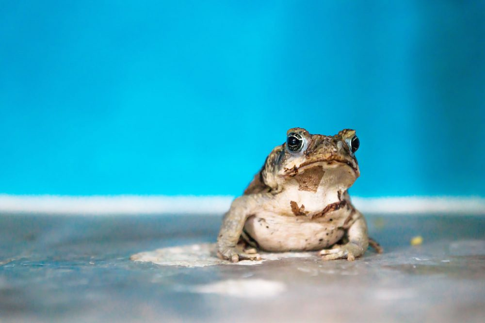 Portrait of a brown white frog in front of light blue wall at a house, El Remate, Guatemala, Central America