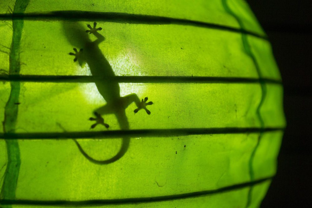 Shadow of a gecko in a green lamp, Gili Air, Lombok, Indonesia