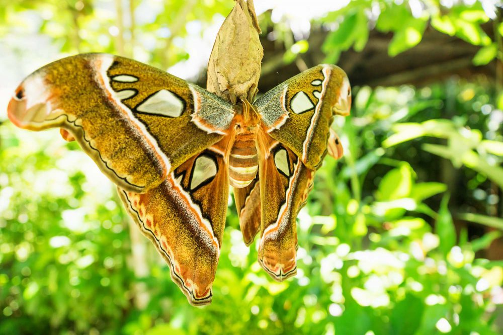Attacus caesar, 30cm long moth with brown orange colours with green plants background in Bohol, Philippines