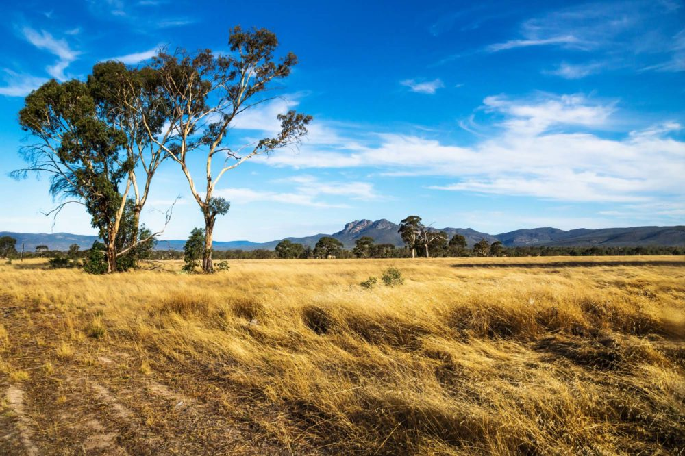 Golden grassland landscape in the bush with green trees with rocky Grampians mountains in the background, Victoria, Australia