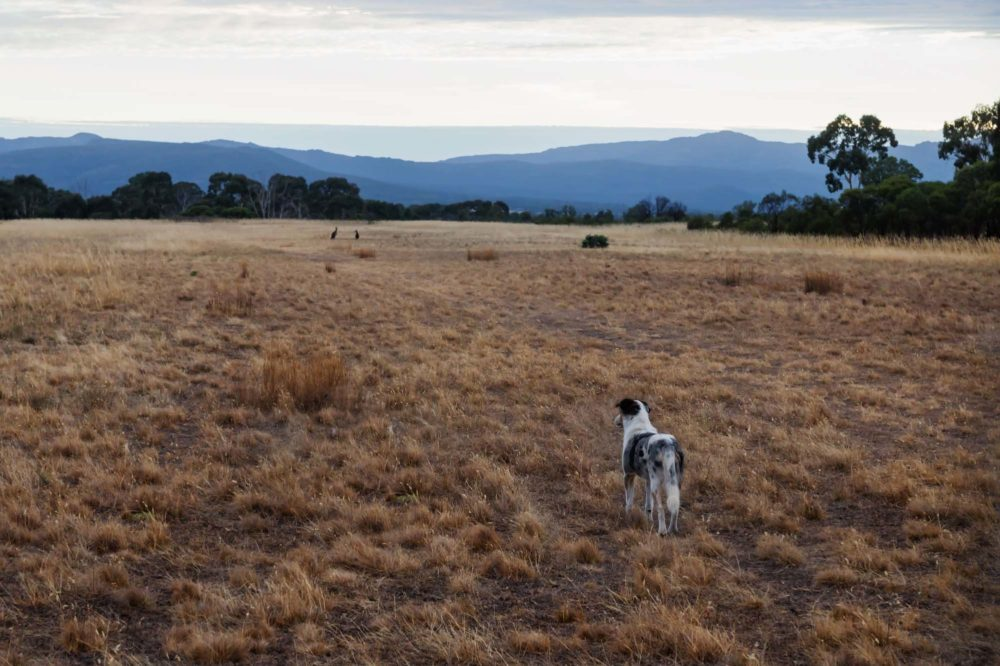 Herder dog on a dry grass field watching kangeroos in a distance at the Grampians, Victoria, Australia