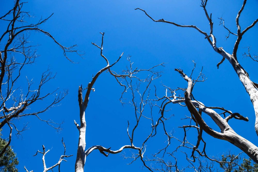 Leafless gray Eucalyptus trees on blue sky eaten by koalas, Cape Otway, Victoria, Australia