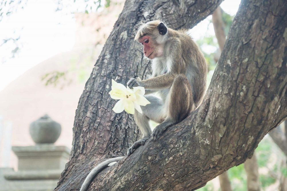 Grey brown monkey sitting in a tree with a lotus flower in its hand and temple in the background, Anuradhapura, Sri Lanka