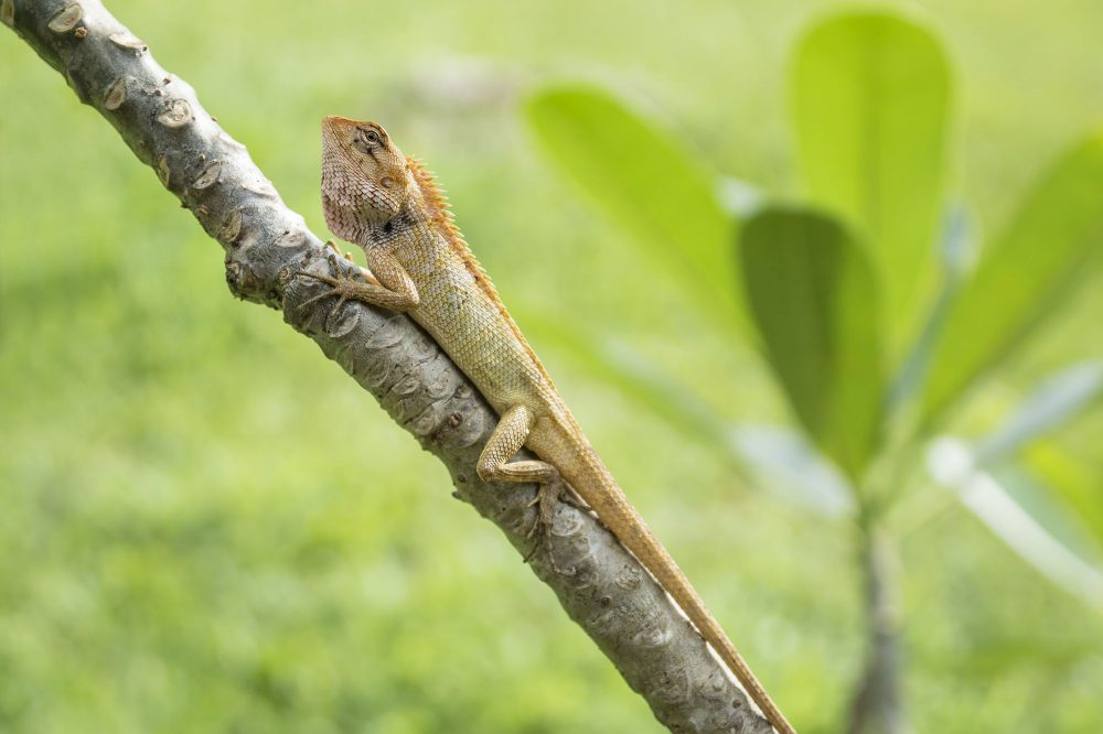White orange lizzard in sunslight on a branch with green grass and plant background on Koh Mook in Thailand