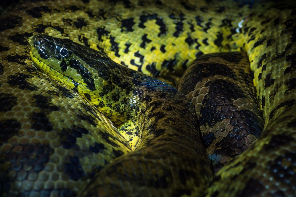 Close up of a Yellow Ananaconda snake in the museum Haus der Natur, Salzburg, Austria