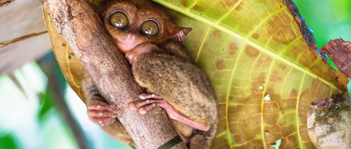 Tarsier with big open eyes on a branch with big green leaf in the back in Bohol, Philippines, Asia