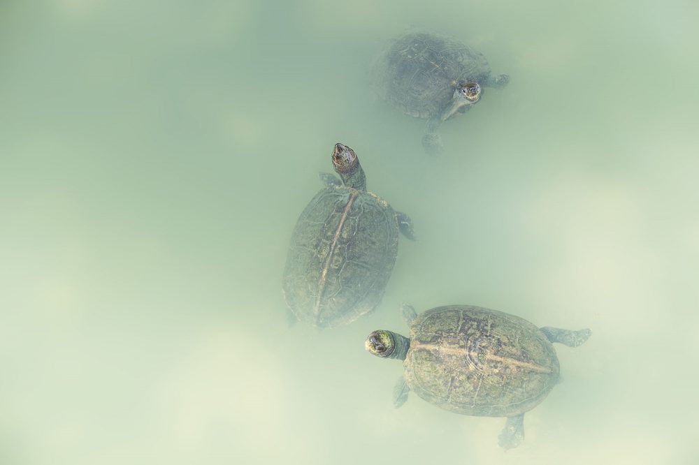 Three turtles looking out of light green water at Kek Lok Si temple in Penang, Malaysia